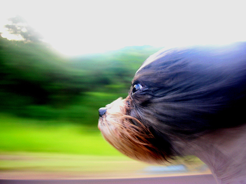 dog with head out window