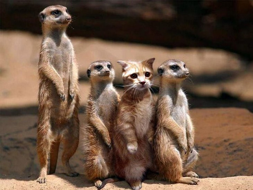 meercats and cat