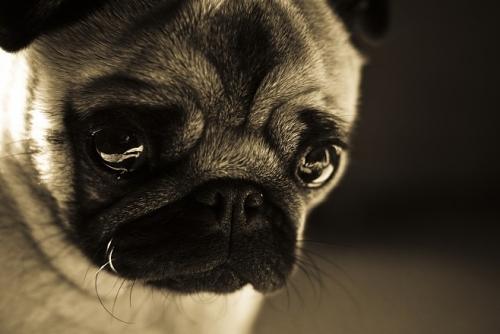 pug puppy close up