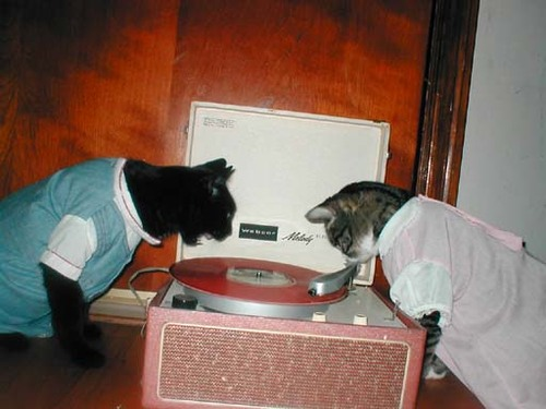 cats yelling at record player