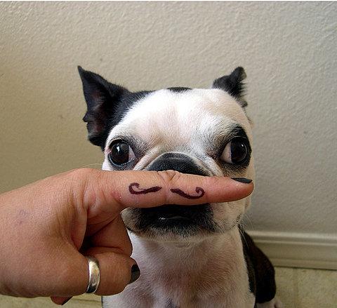 boston terrier finger moustach