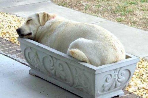 dog lab sleeping in planter