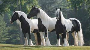 black and white horses